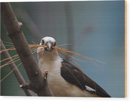 White-headed Buffalo Weaver Wood Print