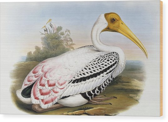 White-headed Ibis, Tantalus Leucocephalus Wood Print