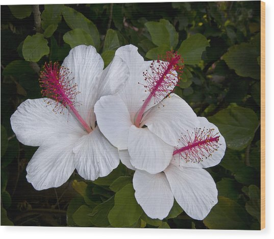 White Hibiscus Trio Wood Print