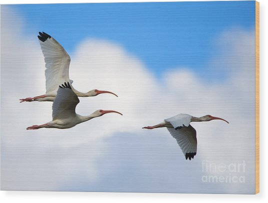 White Ibis Flock Wood Print