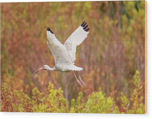 White Ibis In Hilton Head Island Wood Print