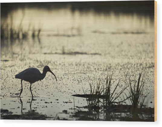 White Ibis Morning Hunt Wood Print