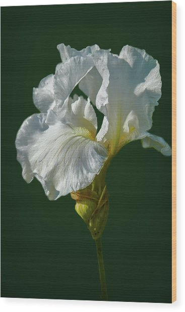 White Iris On Dark Green #g0 Wood Print