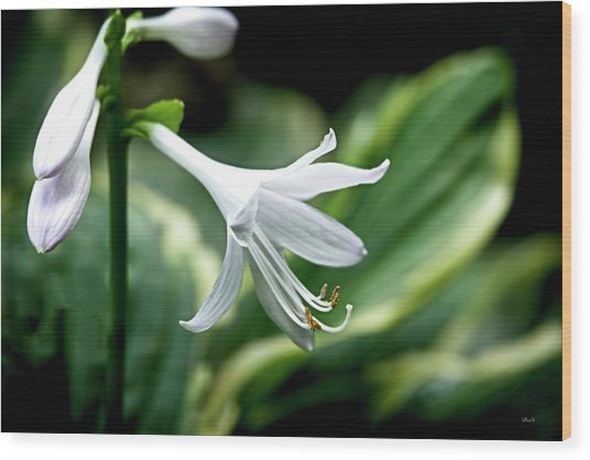 White Lily 1 Wood Print