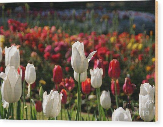 White Lit Tulips Wood Print