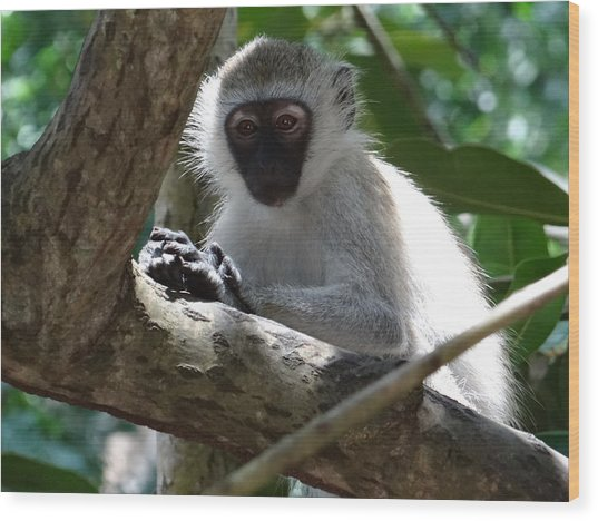 White Monkey In A Tree 4 Wood Print