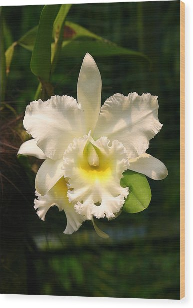 White Orchid Singapore Wood Print