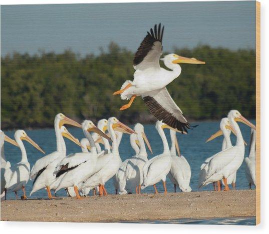 White Pelican In Flight Wood Print by Diane Luke
