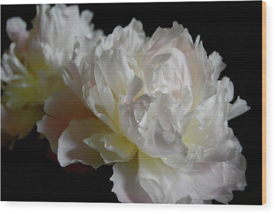 White Peonies Wood Print by David Rothmiller