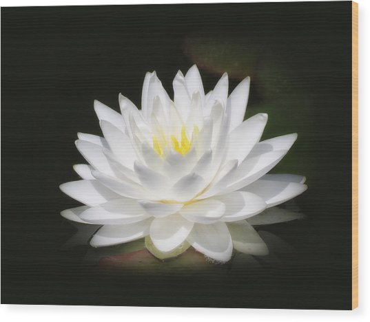 White Petals Glow - Water Lily Wood Print