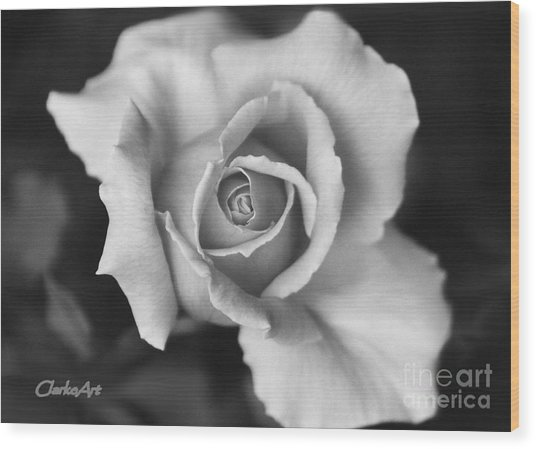 White Rose Against Black Wood Print