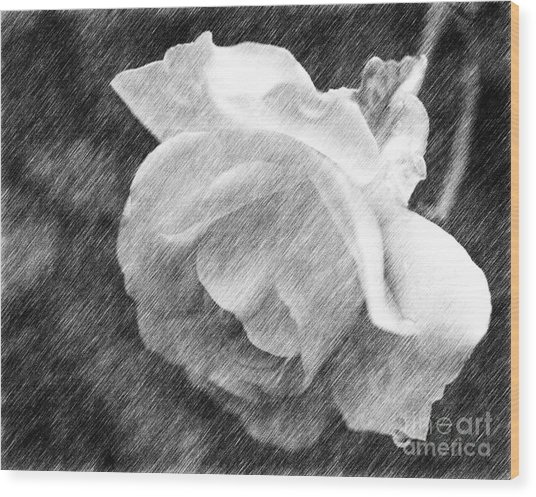 White Rose In Pencil Wood Print