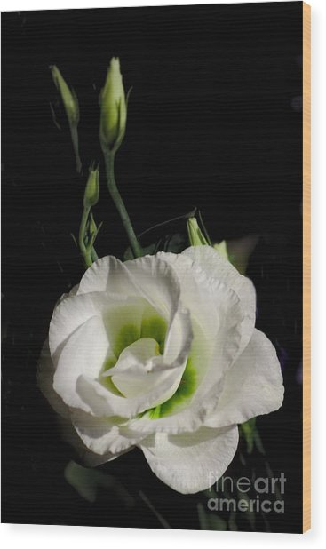 Wood Print featuring the photograph White Rose On Black by Jeremy Hayden