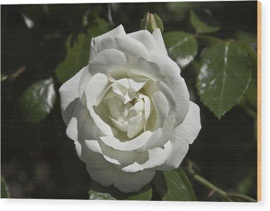 White Rose Wood Print by Steve Kenney