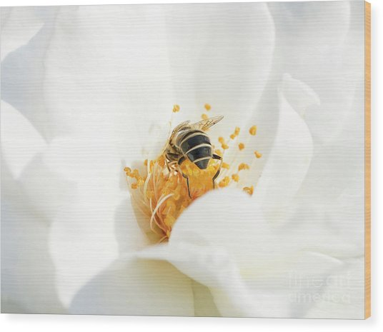 Looking For Gold In A White Rose Wood Print