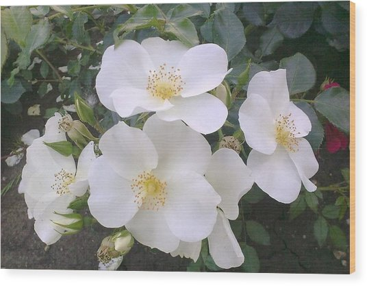 White Roses Bloom Wood Print