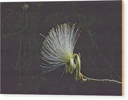 White Shaving Brush Pseudobombax Flower Wood Print