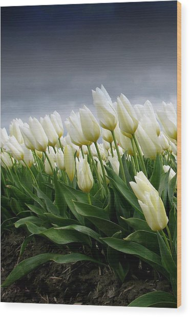 White Stormy Tulips Wood Print by Karla DeCamp
