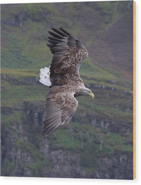 White-tailed Eagle Banks Wood Print
