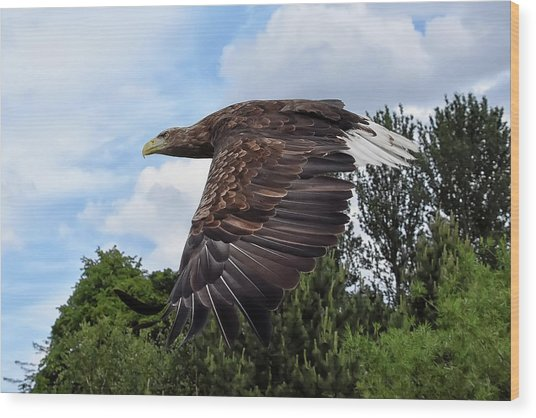 White Tailed Eagle Wood Print