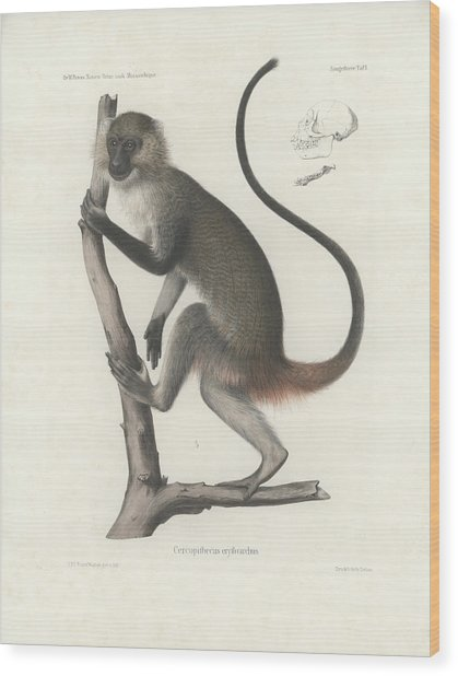 White Throated Guenon, Cercopithecus Albogularis Erythrarchus Wood Print