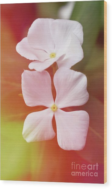 White Vinca With Vivid Highligts  Wood Print