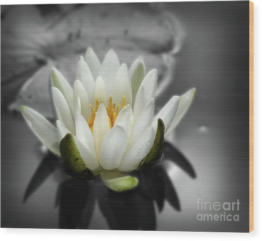 White Water Lily Black And White Wood Print