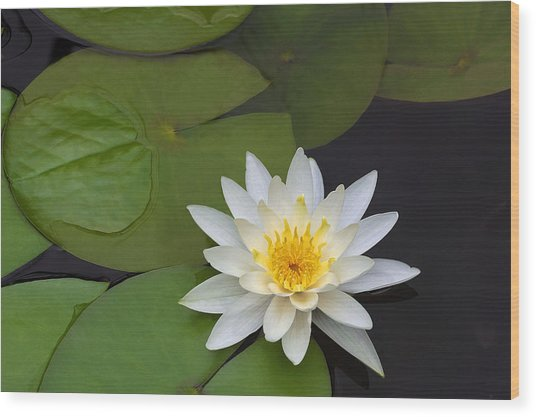 White Water Lily Wood Print by Linda Phelps