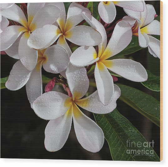 White/yellow Plumerias In Bloom Wood Print