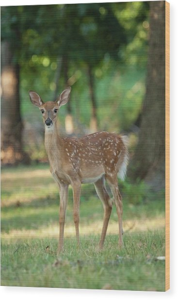 Whitetail Deer Fawn Wood Print by Erin Cadigan