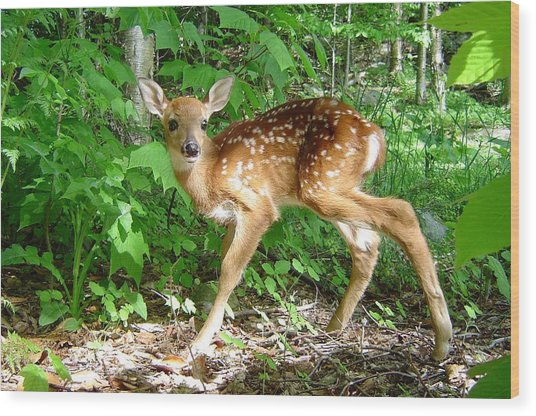 Whitetail Fawn Wood Print