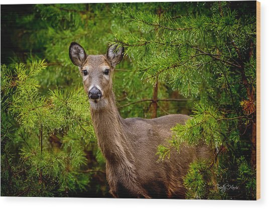 Whitetail In The Pines Wood Print