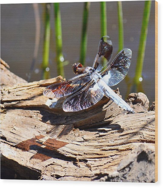 Whitetail Skimmer Wood Print
