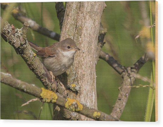 Whitethroat Wood Print