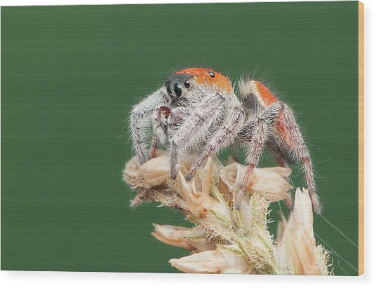 Whitman's Jumping Spider Wood Print by Derek Thornton