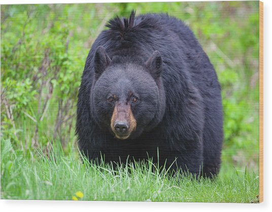 Wild Black Bear Wood Print