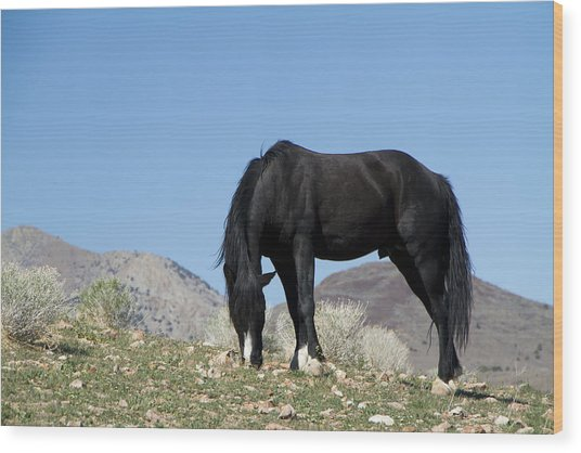 Wild Black Stallion Horse Wood Print