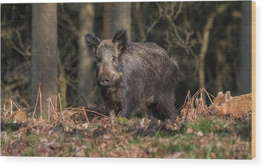 Wild Boar Sow And Young Wood Print