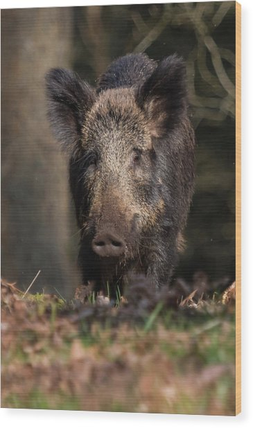 Wild Boar Sow Portrait Wood Print