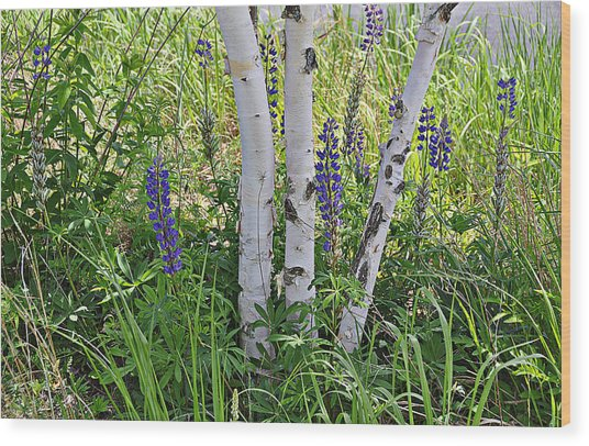 Wild Center Birches Wood Print
