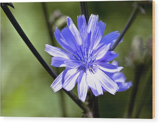 Wild Chicory Wood Print by Ross Powell