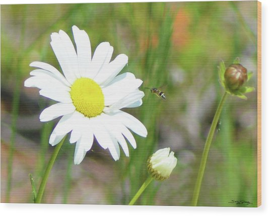 Wild Daisy With Visitor Wood Print