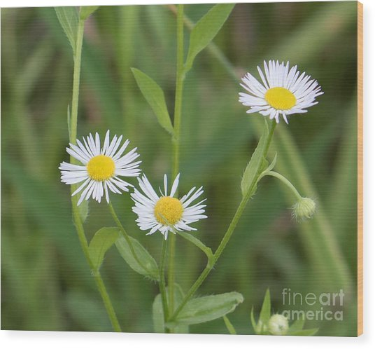 Wild Flower Sunny Side Up Wood Print