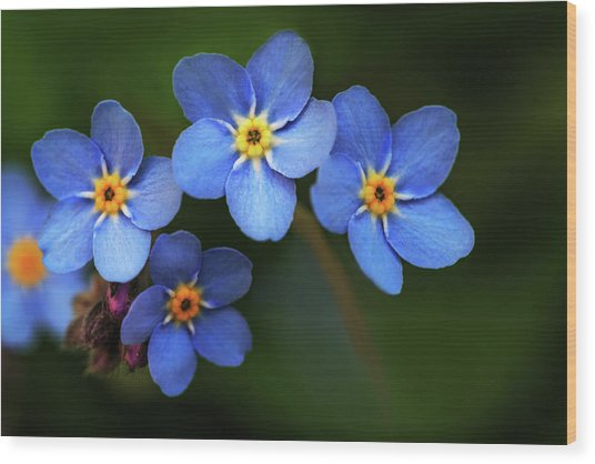 Wild Flower Forget-me-not Since The Middle Ages Symbolizes The Celestial Eye And Reminds You Of God Wood Print