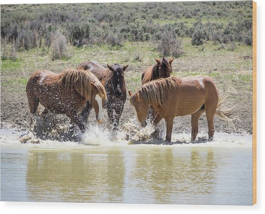 Wild Mustang Stallions Playing In The Water - Sand Wash Basin Wood Print