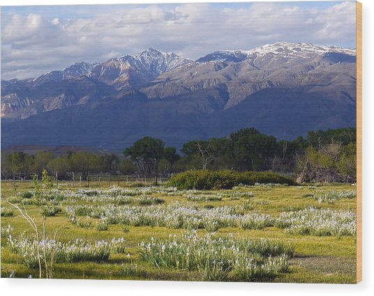 Wild Iris And The White Mountains Wood Print
