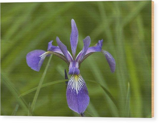 Wild Iris Wood Print by Steve Kenney