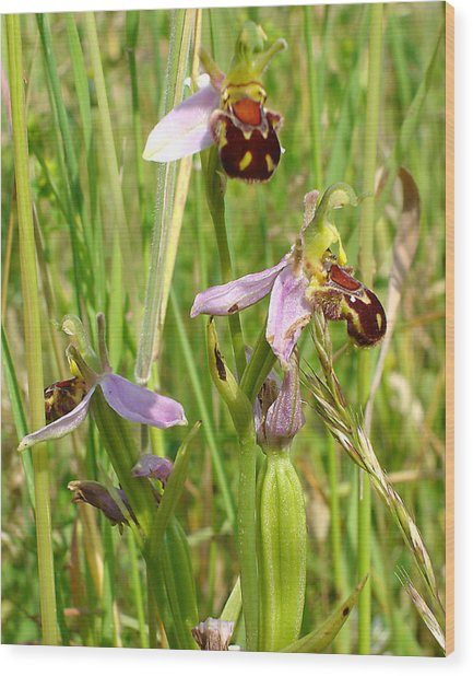 Wild Meadow Bee Orchids Wood Print