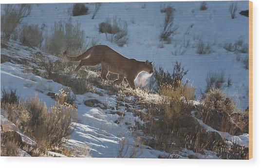 Wild Mountain Lion Running At First Light Wood Print
