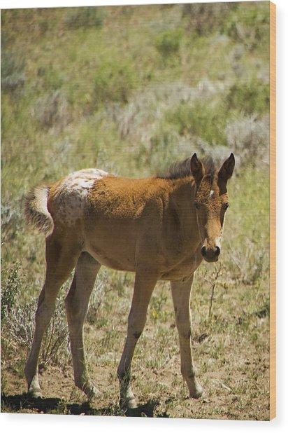 Wild Mustang Appaloosa Foal Wood Print